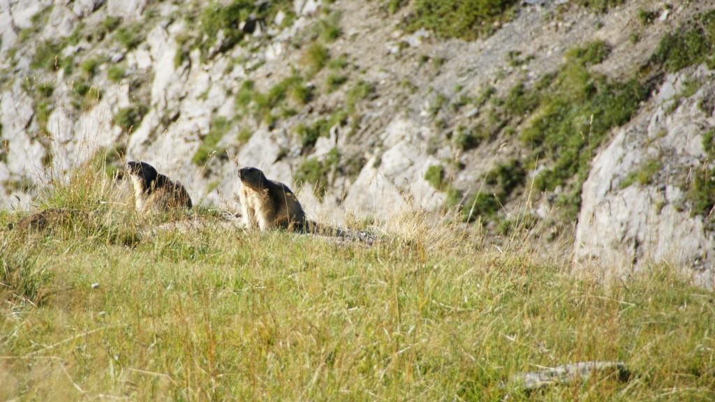 Murmeltiere am col du galibier